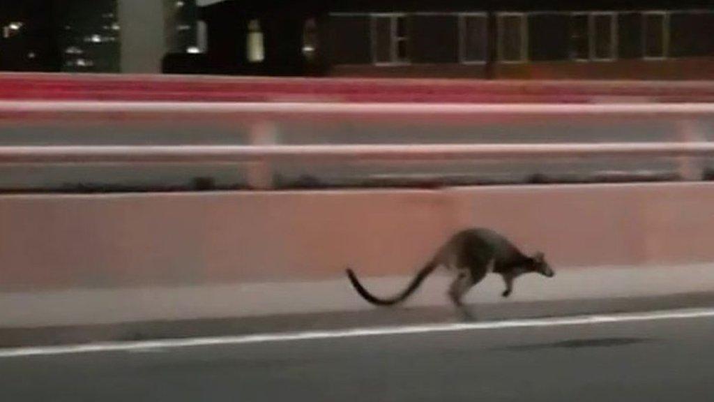 Wallaby gives police slip on Sydney Bridge