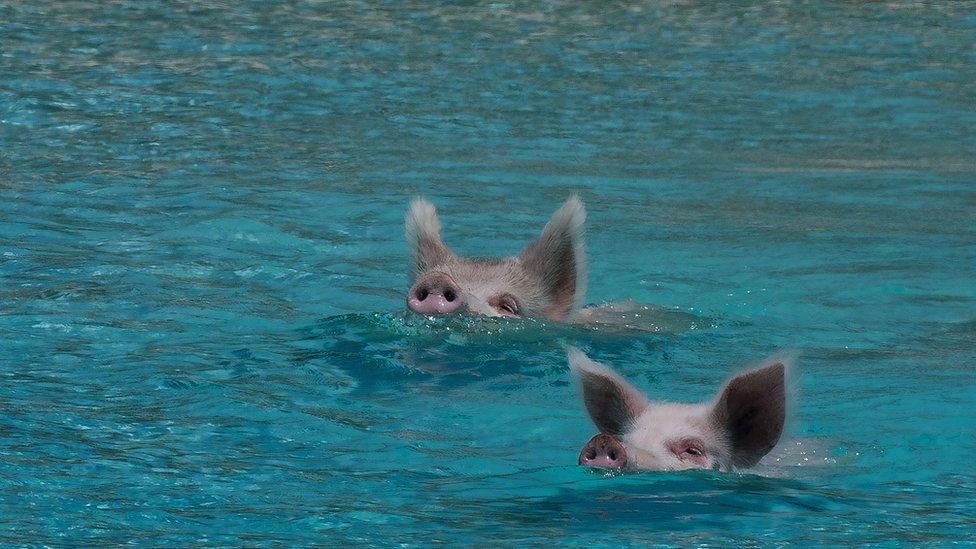 Cerditos nadando