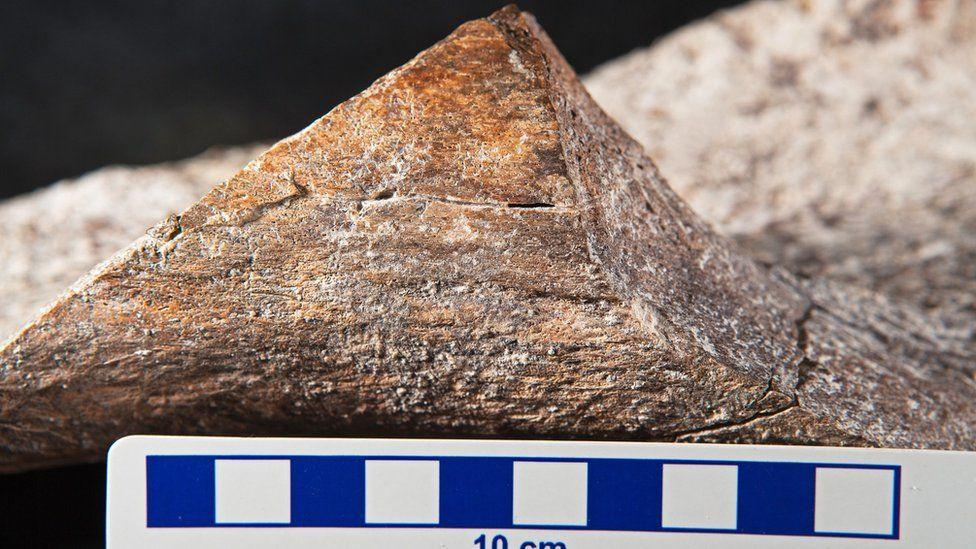 En este primer plano del hueso del mastodonte se puede ver la fractura en forma de espiral .