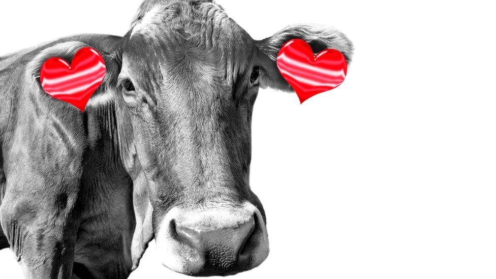 Vaca con pendientes de corazón.