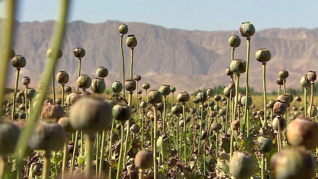 افزایش شدید کشت تریاک در افغانستان: ۸۷ درصد بیشتر از پارسال