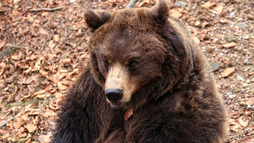 Italy official defends killing rare bear after man mauled