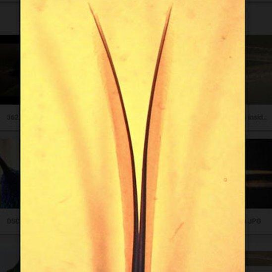 Punta de la lengua de un colibrí en que se ve una bifurcación