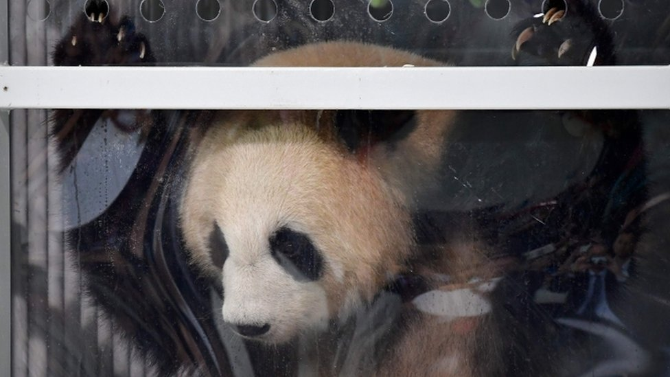 Pandas in Berlin: Meng Meng and Jiao Qing arrive in new home