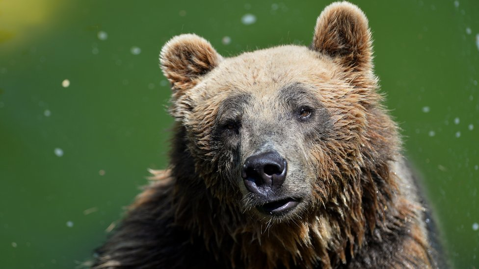 Rare brown bear dies in Italy capture operation | BBC