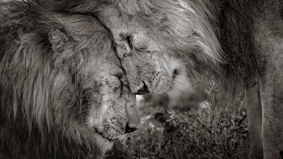 Kings of the jungle on top in photo award