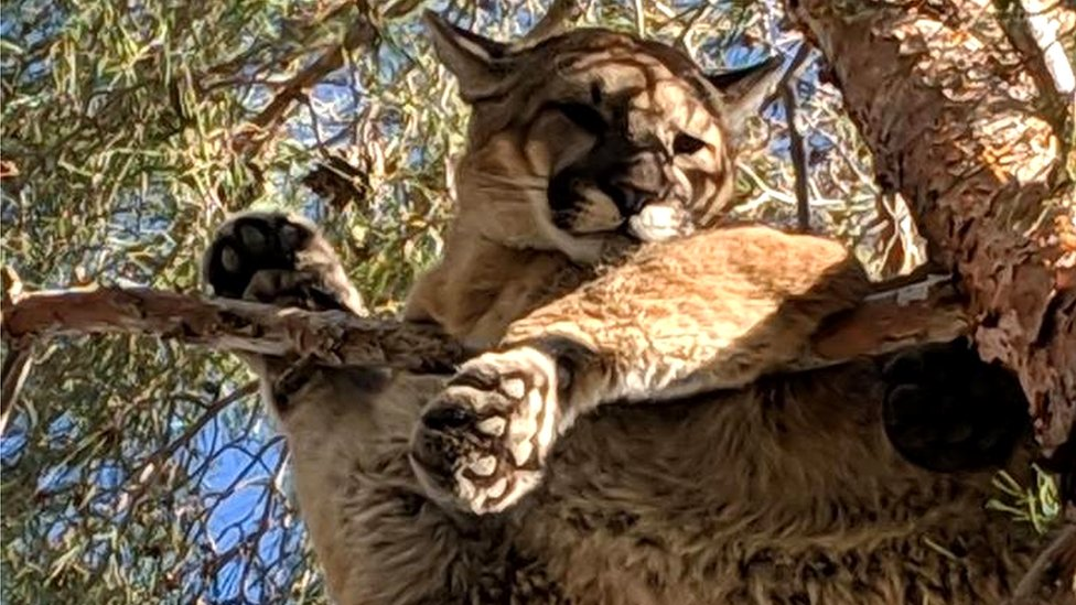 Mountain lion in California tree 'rescued' by firefighters