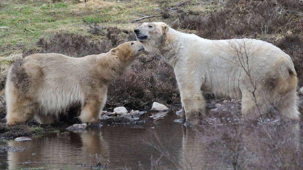 У Британії вперше за 25 років народила біла ведмедиця