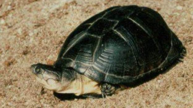 <![CDATA[Stolen turtle Clyde returned safe and well to aquarium]]>