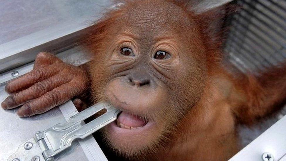 Россиянин арестован на Бали за попытку вывезти орангутанга в чемодане