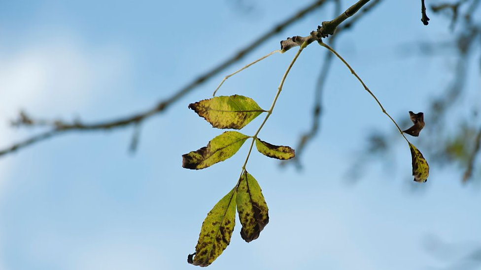 Ash dieback: ash woodlands 'may flourish once again'