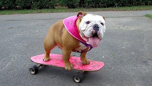 Pumpkin the bulldog teaches herself to skateboard