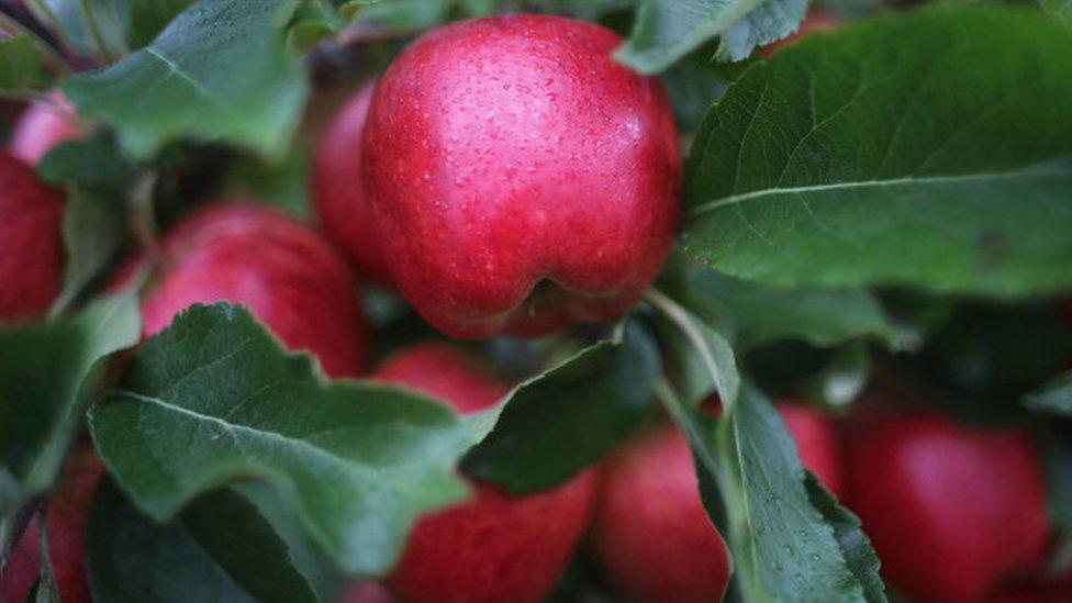¿Manzanas con morfina?