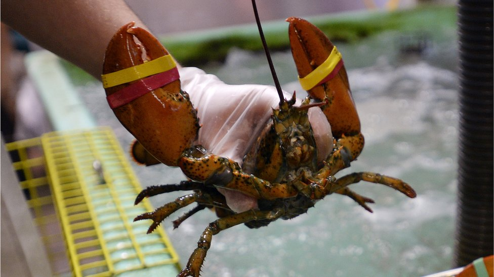 Maine restaurant sedates lobsters with marijuana
