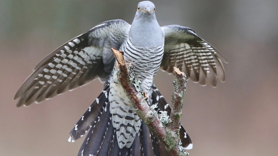 Burung yang 'hilang' selama 172 tahun, Pelanduk Kalimantan ditemukan warga,  'temuan menakjubkan terkait teka teki terbesar ornitologi Indonesia' - BBC  News Indonesia