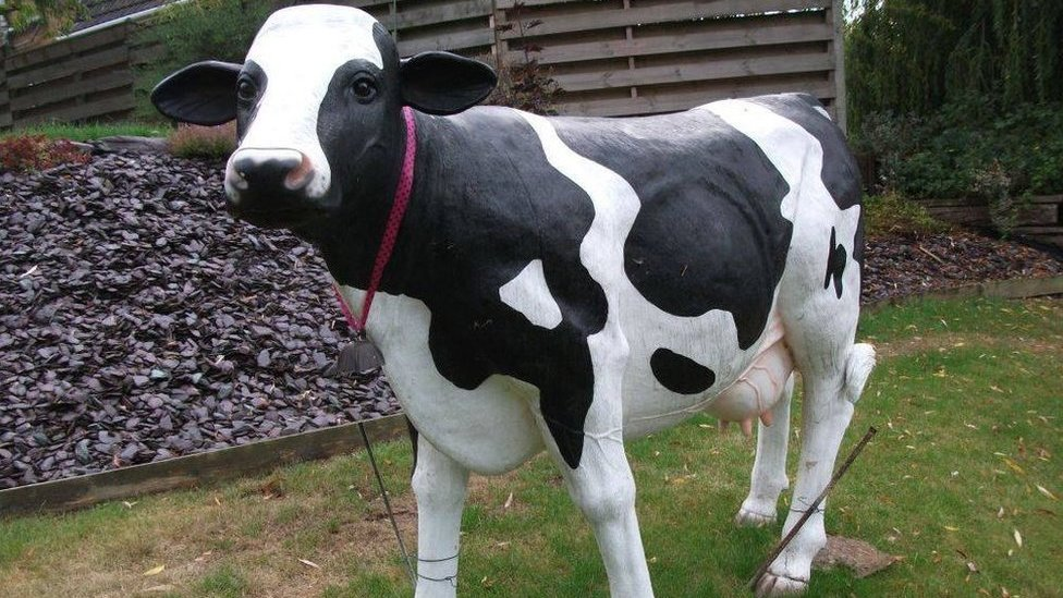 Blossom the cow's owner baffled by theft