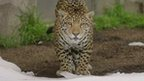 Jaguars enjoy surprise snow day at San Diego Zoo
