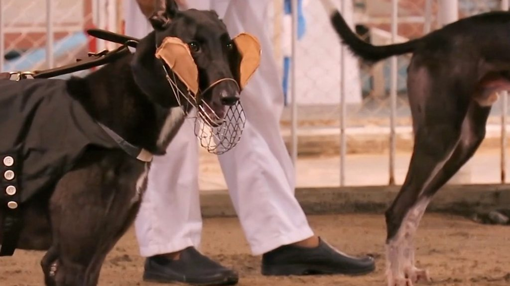The 600 greyhounds left behind in Macau