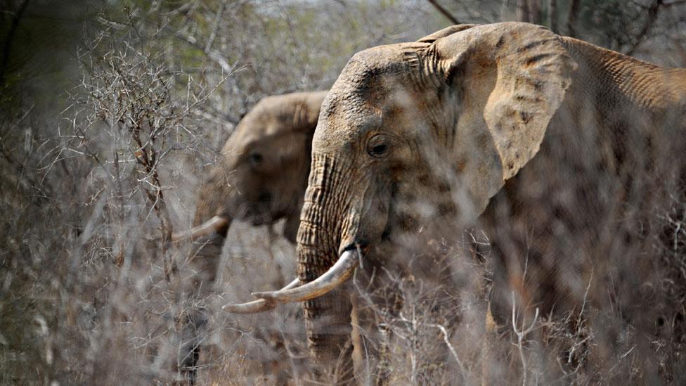 En menos de una década más de 110.000 elefantes africanos fueron muertos por cazadores para satisfacer la demanda en Asia.