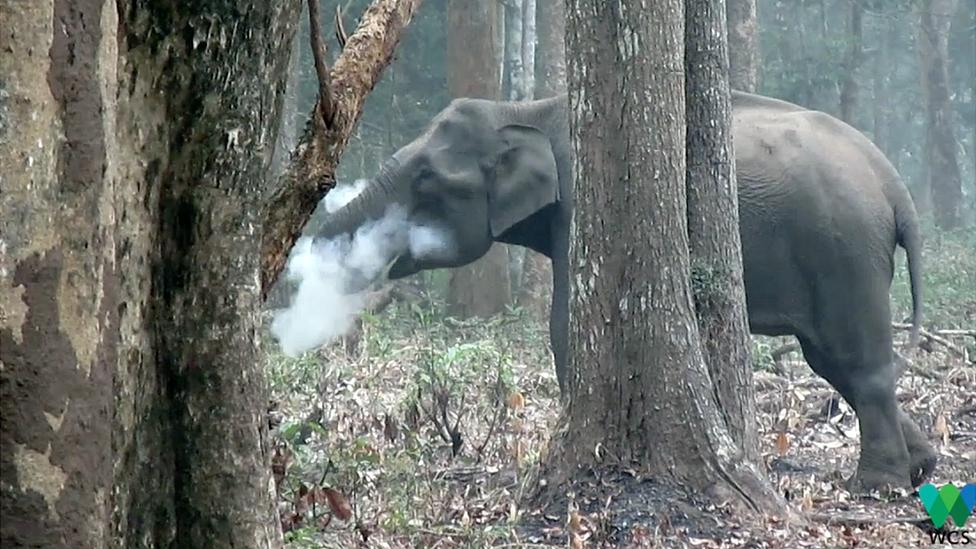 Imagen del video que documenta cómo un elefante hembra echa humo por la boca en el bosque de Nagarhole, en Karnataka, un estado del suroeste de India. (Foto: cortesía de WCS)