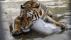 A tiger cools off with a block of ice in a zoo