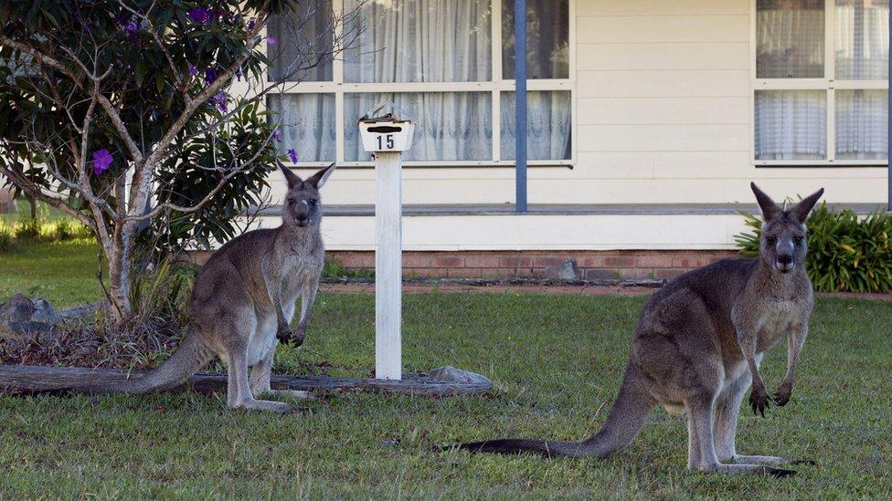 兩隻袋鼠在一間民居門前