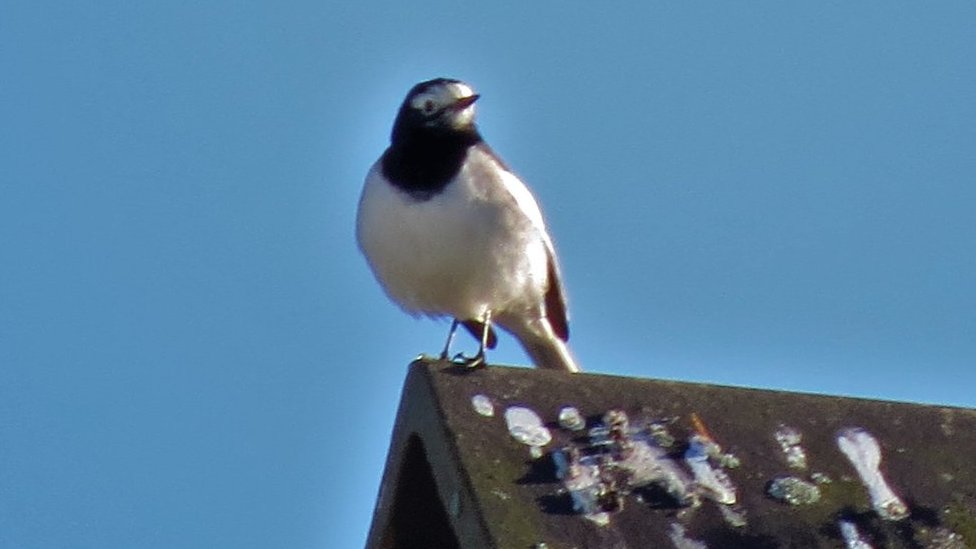 Birdwatchers in Camrose for Britain's first masked wagtail