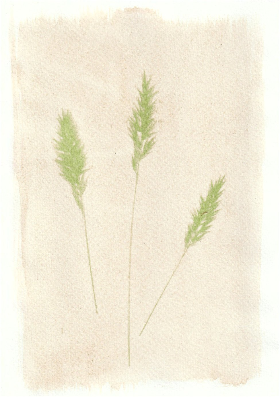 An anthotype print of three green pieces of wheat