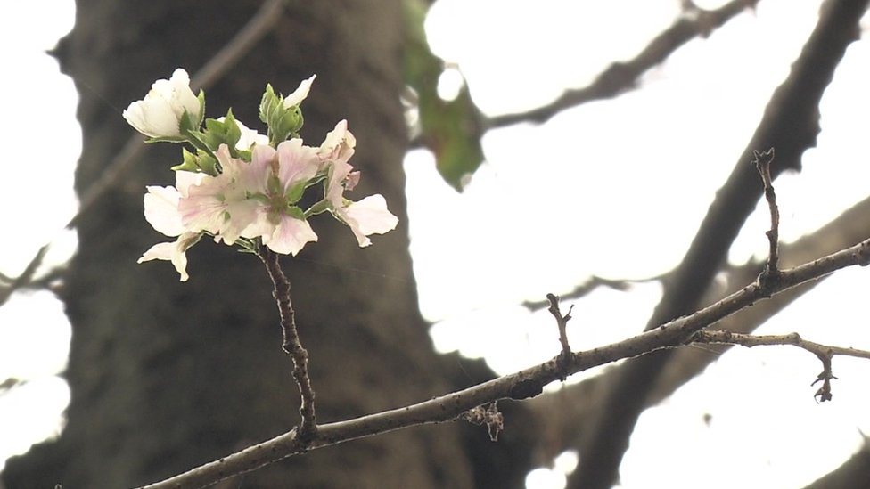 Cherry blossoms bloom unexpectedly in Japan