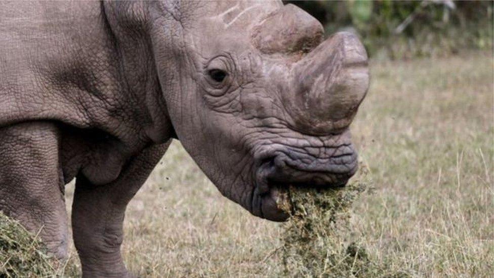100491725 rhino