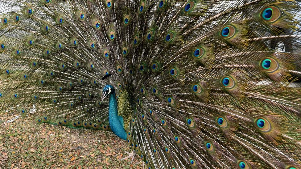 Los humanos presumimos con lo que compramos de la misma forma que un pavo real muestra sus plumas, dicen algunos expertos.