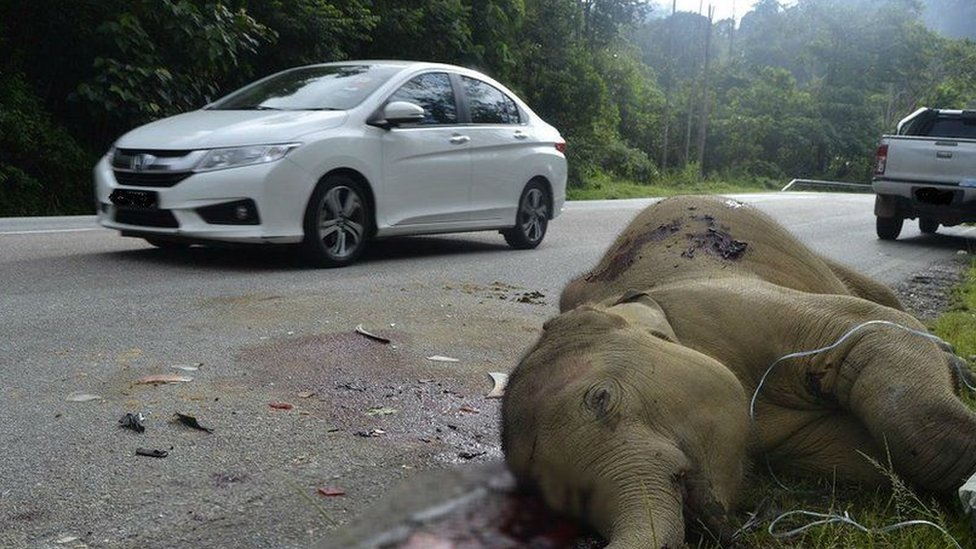 Bayi gajah ditemukan tewas tertabrak di jalan raya Malaysia