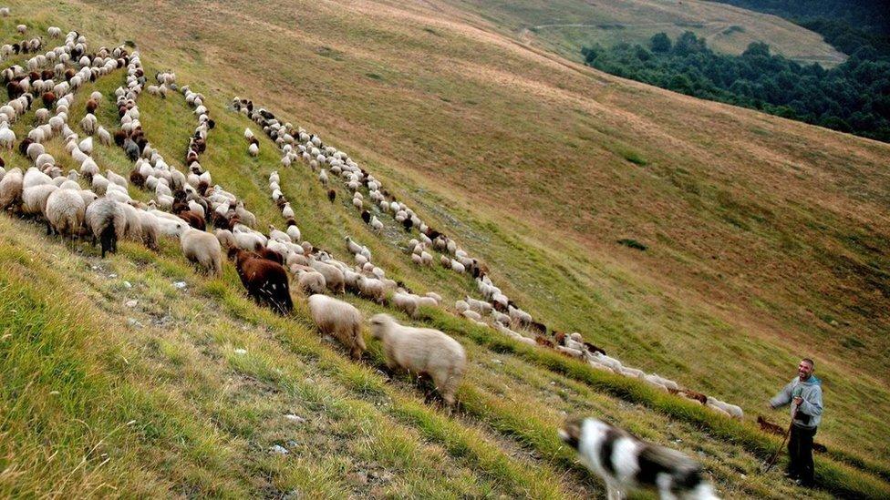 Pastor con ovejas en las montañas de Bulgaria Foto: Evo Danchev Getty Images