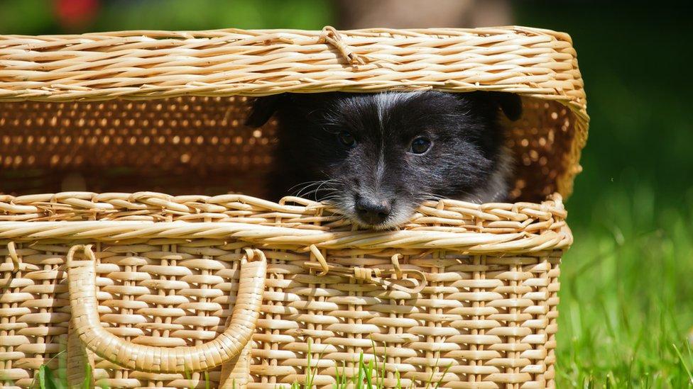 Perro escondido en canasta