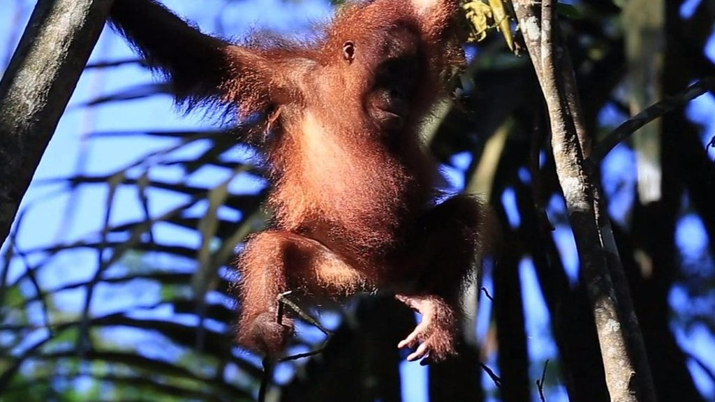 The Bornean orangutans clinging on to survival