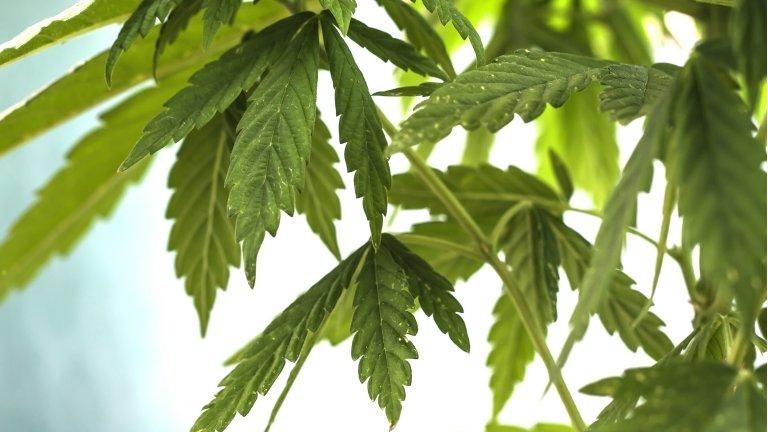 Lebanese farmer: Growing cannabis should be legal