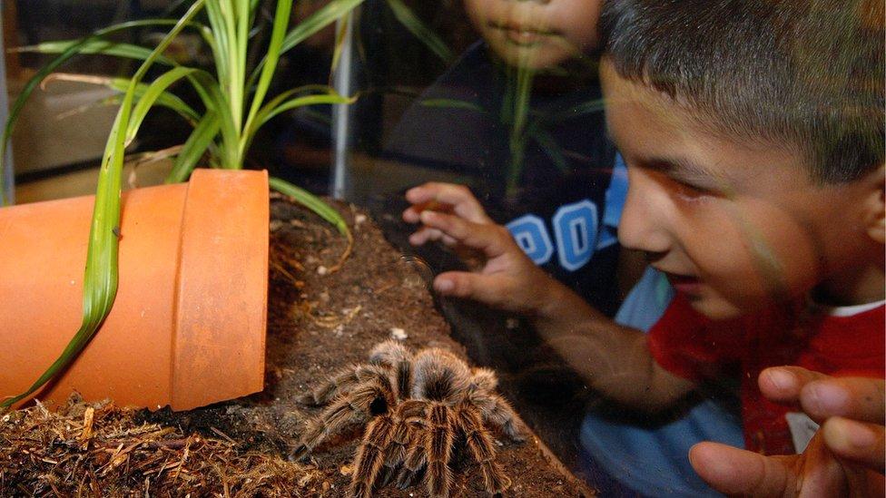 Niño observando a tarántula en vitrina.