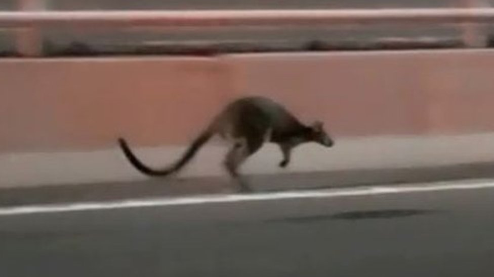 Wallaby captured after hopping across Sydney Harbour Bridge