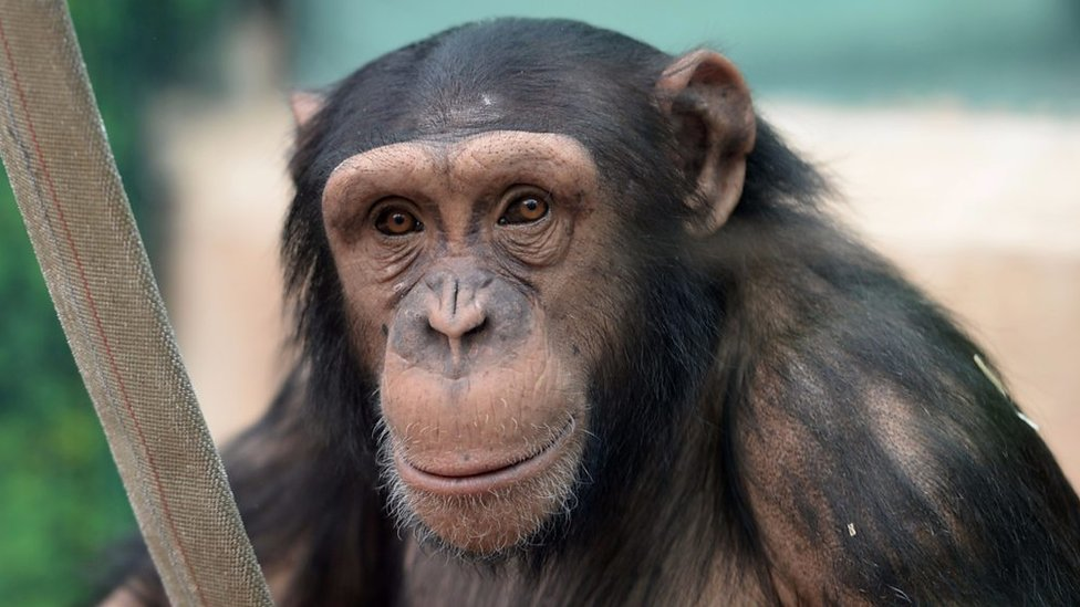 Chimps can play rock-paper-scissors