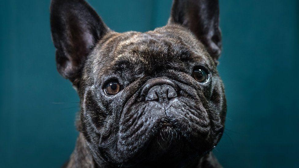 Мода звезд на французских бульдогов: как страдают собаки