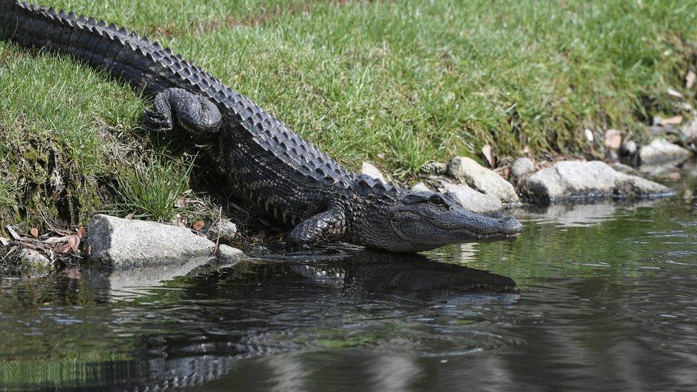 US dog walker killed in South Carolina alligator attack