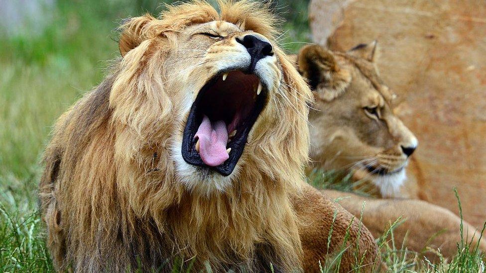 Muchos leones son casados para usar parte de sus cuerpos como trofeos o como parte de rituales.
