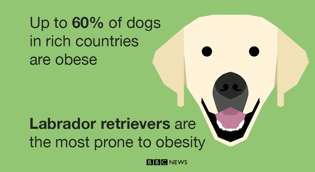Fat Labradors give clues to obesity epidemic