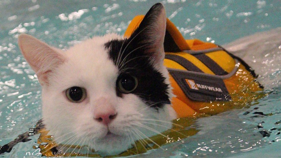 Elf the cat has swimming therapy in Carmarthen aft