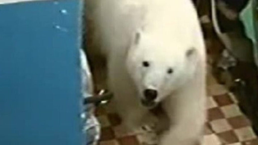 Why polar bears are invading human settlements