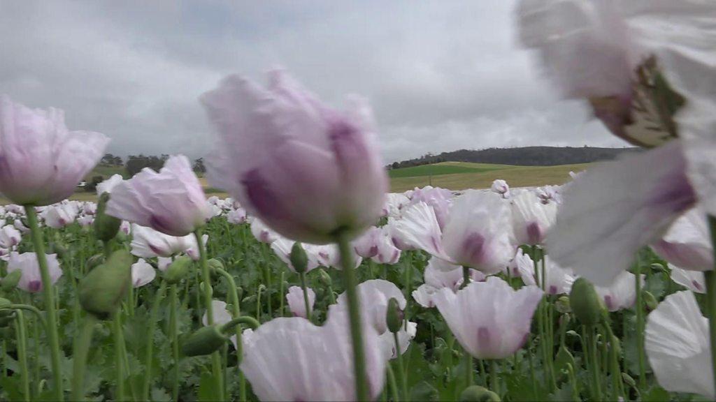 Poppy farms: How the global opioid crisis is biting Australia