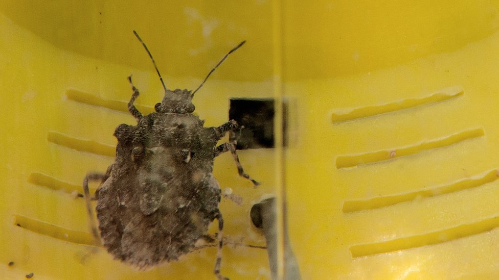 Stink bugs threaten New Zealand car imports
