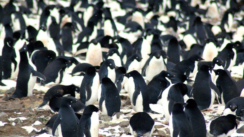 Pingüinos Adélie en los Islotes Peligro, Antárctica