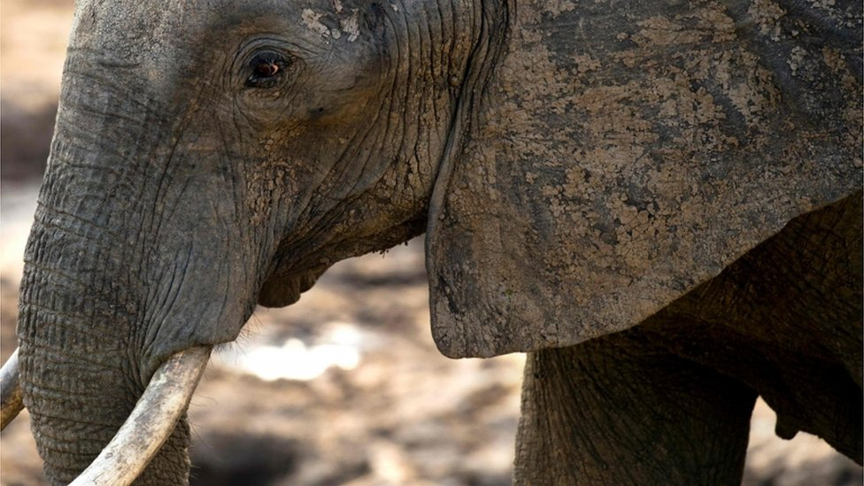 Trump puts elephant trophy imports on hold