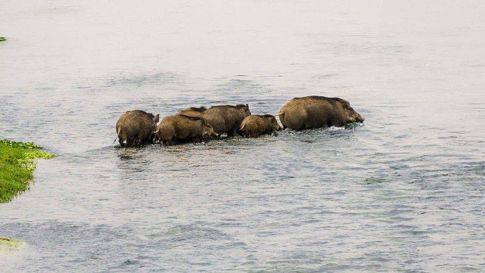 Familia de cerdos salvajes cruzando el río Rapti en el Parque Nacional de Chitwan de Nepal.
